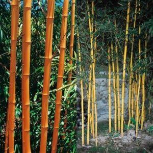 Bambou en pot – Phyllostachys aureosulcata 'Aureocaulis'  – 250/300 cm – PLANTES ET JARDINS – Jardinerie en ligne