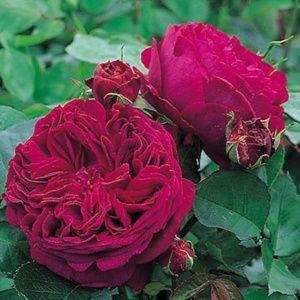 Rosier anglais 'Falstaff®' Ausverse (Rosa x 'Falstaff®' Ausverse)