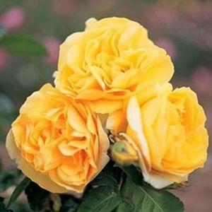 Rosier 'Michelangelo®' Meitelov (Rosa x 'Michelangelo®' Meitelov)