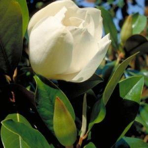 Magnolia grandiflora 'Galissonière' – Pot de 30 litres – PLANTES ET JARDINS – Jardinerie en ligne