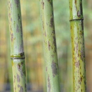 Bambou géant – Phyllostachys nigra 'Boryana' -En pot de 15 litres – hauteur 200/250 cm – PLANTES ET JARDINS – Jardinerie en ligne