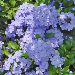 Plumbago du Cap bleu