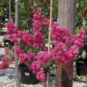 Lagerstroemia 'Petit Canaille®' rose(Lagerstroemia x 'Petit Canaille®' rose)