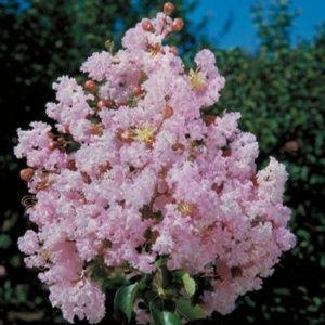 Lilas des Indes 'Soir d'Eté®' – Largerstromia – Pot de 3 litres, touffe – PLANTES ET JARDINS – Jardinerie en ligne