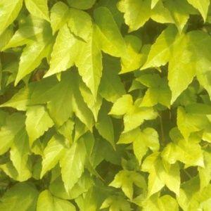 Vigne vierge 'Golden Wall®' fenway – pot de 3 litres (18 à 24 mois de culture)