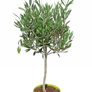 Olivier en tigette (Olea europaea) – En pot de 7 litres, tigette de 70 cm