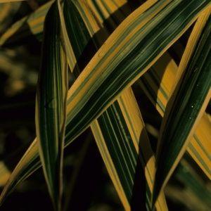 Petit bambou – Hibanobambusa – bambou en pot (7 litres) – hauteur 60/80 cm – PLANTES ET JARDINS – Jardinerie en ligne