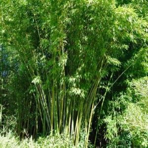 Bambou en pot (15 litre) – Phyllostachys rubromarginata – hauteur 200/250 cm – PLANTES ET JARDINS – Jardinerie en ligne