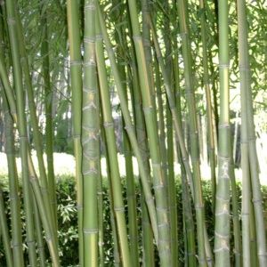 Bambou – Phyllostachys aurea 'Flavescens inversa' – En pot (3 litres) – hauteur 40/80 cm – PLANTES ET JARDINS – Jardinerie en ligne