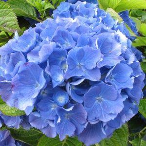 Hortensia 'Renate Steiniger' (Hydrangea macrophylla 'Renate Steiniger') – Pot de 5 litres – PLANTES ET JARDINS – Jardinerie en ligne