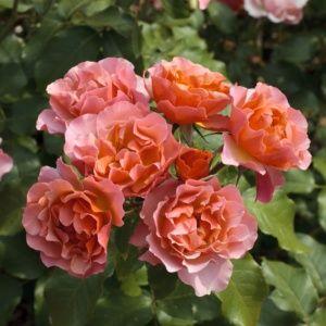 Rosier 'Jean Cocteau®' Meikokan (Rosa x 'Jean Cocteau®' Meikokan)