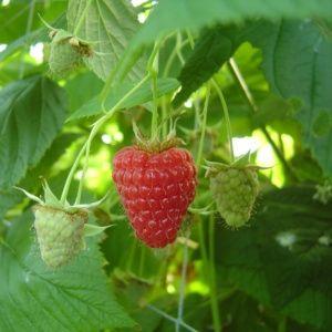 Framboisier 'Tulameen',  lot de 5 plants – PLANTES ET JARDINS – Jardinerie en ligne