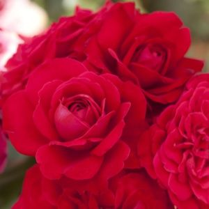 Rosier 'Mona Lisa®' Meilyxir (Rosa floribunda 'Mona Lisa®' Meilyxir)