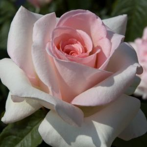 Rosier Prince Jardinier® Meitroni