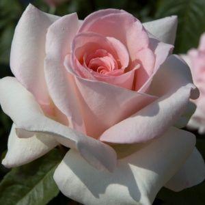 Rosier 'Prince Jardinier®' Meitroni