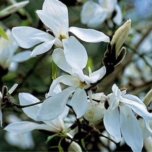 Magnolia 'Wada's Memory' (Magnolia 'Wada's Memory')