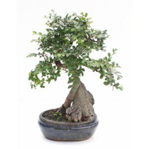 Entretien et arrosage du bonsa gamm vert for Entretien bonsai interieur