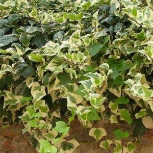 lierre plante d 39 ext rieur gamm vert. Black Bedroom Furniture Sets. Home Design Ideas