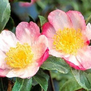 Camélia d'automne 'Variegata' (Camellia sasanqua 'Variegata')