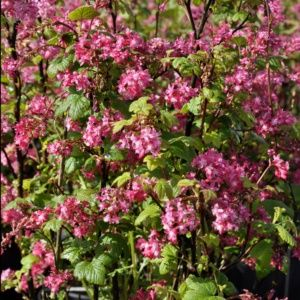 Groseillier à fleurs 'King Edward  VII' (Ribes sanguineum 'King Edward  VII')