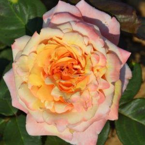 Rosier 'Tahitian Sunset®' (Rosa 'Tahitian Sunset®'JACgodde)