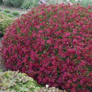 Coreopsis 'Limerock Ruby'®