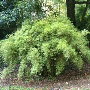 Petit bambou – Fargesia jiuzhaigou – bambou en pot (5 litres) – hauteur 40/60 cm – PLANTES ET JARDINS – Jardinerie en ligne