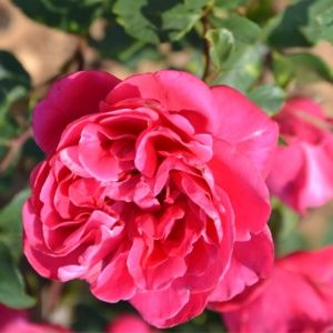 Rosier 'Mme Juliette Guillot®'