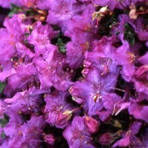 Rhododendron nain 'Nitens' – Pot de 3,5 litres, hauteur 25/35 cm, 3 ans d'âge