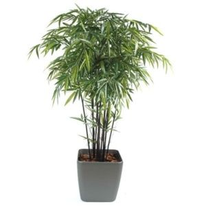 Bambou noir naturel 1m50 12 chaumes dans pot Lechuza anthracite
