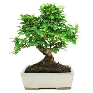 Bonsaï arbre  : Carmona (8 ans) – Arbre d'intérieur – Hauteur 20/34 cm – PLANTES ET JARDINS – Jardinerie en ligne