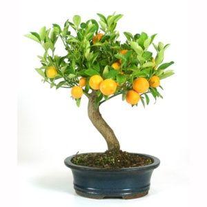 Gamm vert bonsai