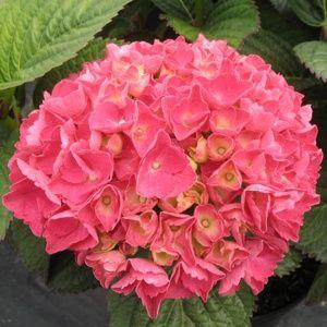 Hortensia 'Red Baron' (Hydrangea macrophylla 'Red Baron')
