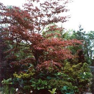 Hêtre 'Tricolor' (Fagus sylvatica 'Tricolor')