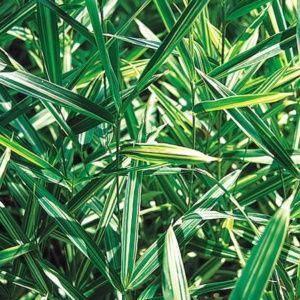 Bambou nain Pleioblastus fortunei 'Variegata'