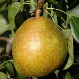 Poirier 'Angelys'® : taille en gobelet de ans, en pot de 7,5 litres – PLANTES ET JARDINS – Jardinerie en ligne