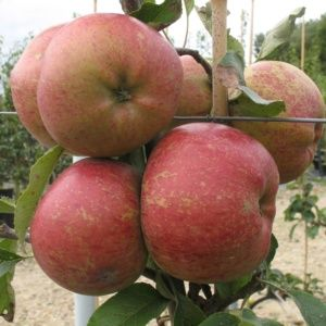 Pommier 'Melrose' : taille en gobelet de 2 ans, en pot de 7,5 litres – PLANTES ET JARDINS – Jardinerie en ligne
