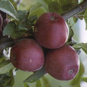 Pommier 'Starking Delicious' : taille en gobelet de 2 ans, en pot de 7,5 litres