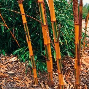 Bambou géant – Phyllostachys 'Castillonis' – bambou en pot (5 litres) – PLANTES ET JARDINS – Jardinerie en ligne