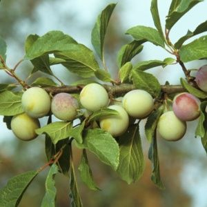 Prunier 'Reine Claude d'Oullins' : scion. - Fruitier Georges Delbard