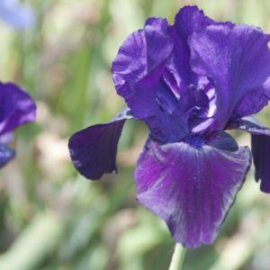 Iris germanica tuxedo