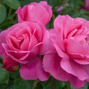 Rosier 'Deborah®' Meinoiral (Rosa x 'Deborah®' Meinoiral)