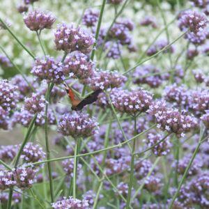 Verveine de buenos aires rose mauve – Lot de 3 godets de 7 cm