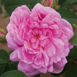 Rosier ancien 'Salet' (Rosa x 'Salet')