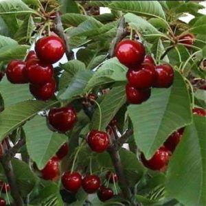 Cerisier 'Reverchon' : taille en demi-tige, en pot (Prunus cerasus 'Reverchon')