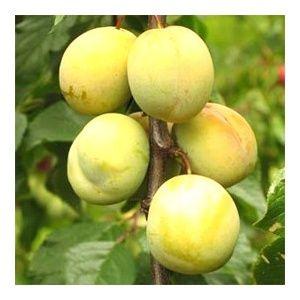 Prunier 'Coe's Golden drop' : taille en demi-tige (Prunus domestica 'Coe's Golden drop')