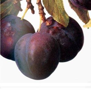Prunier 'Monsieur Hâtif' : taille en gobelet (Prunus domestica 'Monsieur')