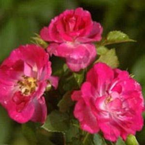 Rosier 'Purple Simplicity®' (Rosa 'Purple Simplicity®' JACpursh)