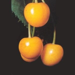 Cerisier Jaune de Buttner: taille en demi-tige (Prunus avium 'Jaune de Butner')