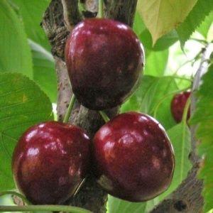 Cerisier 'Bigarreau Noire de Meched' en gobelet, pot de 10 litres – PLANTES ET JARDINS – Jardinerie en ligne